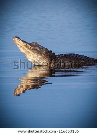 Male alligator raises head to bellow for a female during mating season