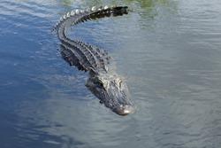 Male Alligator swimming