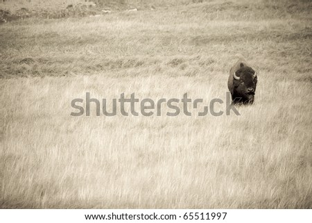 Male American Bison crosses the plains in Yellowstone