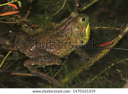 Male American Bullfrog bellowing his foghorn-like call, causing the water around him to ripple. Males use this loud call to attract mates.