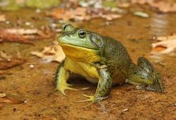 Male American Bullfrog, Lithobates catesbeianus