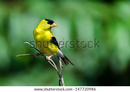 Male American Goldfinch Perched on a Branch #147720986