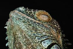 Male American Green Iguana (Iguana iguana)
