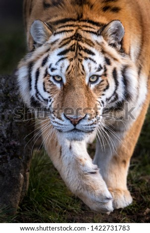 Male Amur tiger (Panthera tigris altaica), 21 months old in picture, walking towards camera.