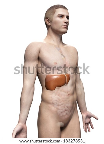 male anatomy illustration the liver