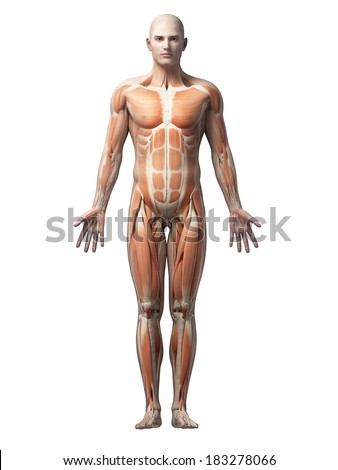 male anatomy illustration the muscles