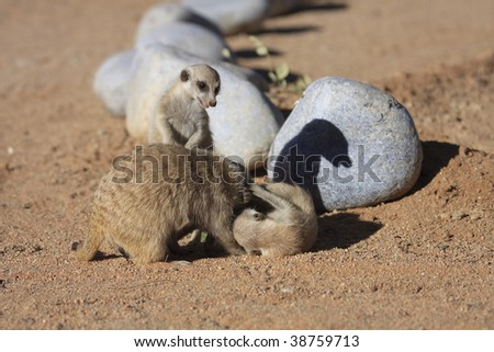 male and baby Meercats mammals at  Solitaire Guest farm and desert ranch Namibia