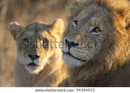 Male and female African Lion (Panthera leo) mating pair, South Africa - stock photo