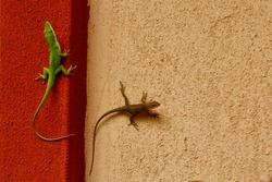 Male and female anole lizard. Isolated closeup, lizards mating.