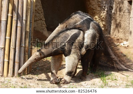Male and female anteater are copulating