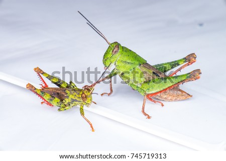 Male and female Asian Short-winged Green Grasshopper (Arthropoda: Orthoptera: Acrididae: Orphulellini: Dichromorpha viridis) with red hind leg crawling on a white surface #745719313