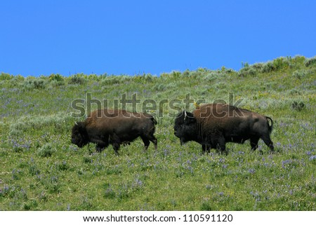 Male and Female Bison during fall rut, Yellowstone National Park, USA