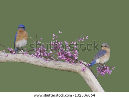 Male and Female Bluebirds in Flowers