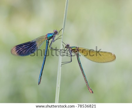 Male and Female Calopteryx Splendens Butterfly together greeting to another with dewdrops.
