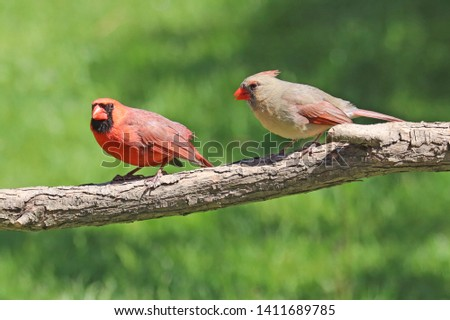 Male and female cardinals perched on branch