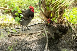 Male and female chickens ( rooster and hen ) blue australorp in husbandry natural animal free range lifestyle farming garden organic in the backyard.