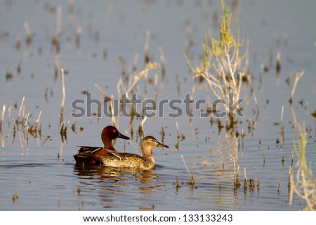 Male and Female Cinnamon Teal swim in the marsh at California's Salton Sea in spring
