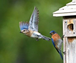 male and female eastern bluebirds at nesting box feeding babies.  female flies away as male watches