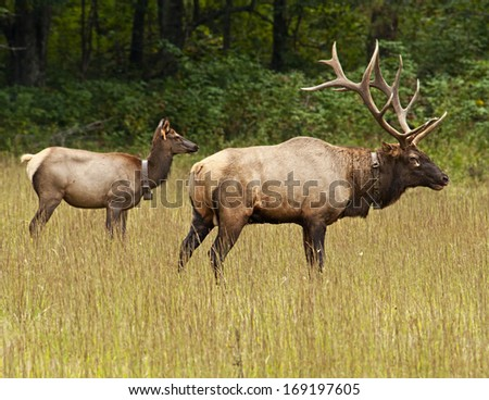 Male and female elk during rutting season at Cataloochee.