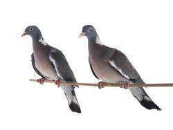 male and female european wood pigeon(Columba palumbus) isolated on white background