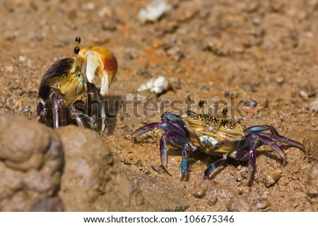 male and female fiddler crab