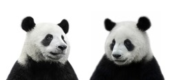 Male and female giant panda bear isolated on white background