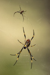 Male and female Golden Orb Wever Spider in web