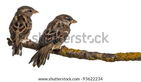 Male and Female House Sparrows, Passer domesticus, 4 months old, in front of white background