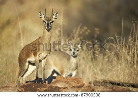 Male and female klipspringer