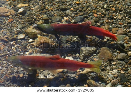 Male and Female Kokanee Salmon swimming in a stream near Lake Tahoe