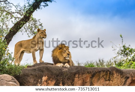 male and female lion #735713011