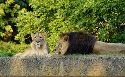 Male and female lion during siesta