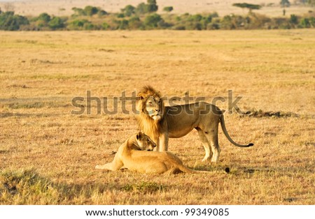 male and female lion  in  wild,Kenya