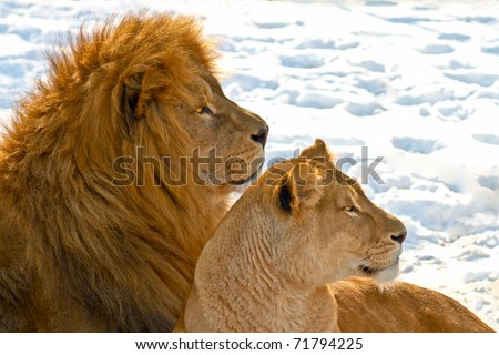 Male and female lions lying in the snow - stock photo