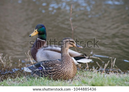 Mallard Female A Female Mallard Duck Anas Platyrhynchos On