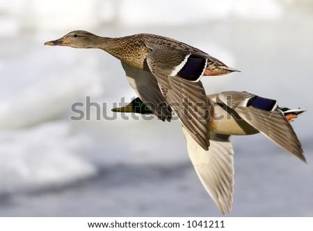 Male and female mallard ducks in flight. - stock photo