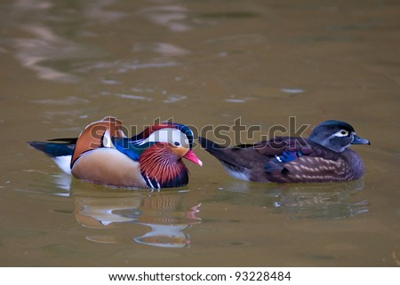 Male  and female mandarin ducks (Aix galericulata)