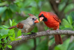 Male and Female Northern Cardinals Perched on Branch of Chinese Fringe Tree