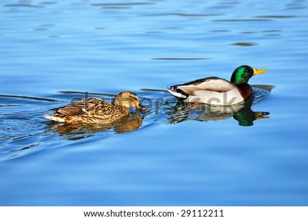 Male and female of mallard ducks (Anas platyrhynchos) in indian file ...  Anasplatyrhynchos