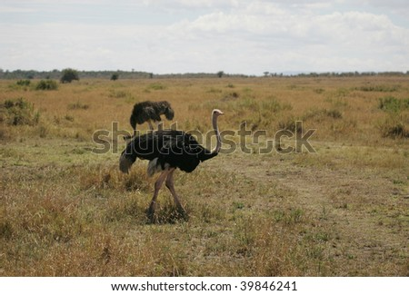 Male and Female Ostrich in the Grasslands of the Masai Mara