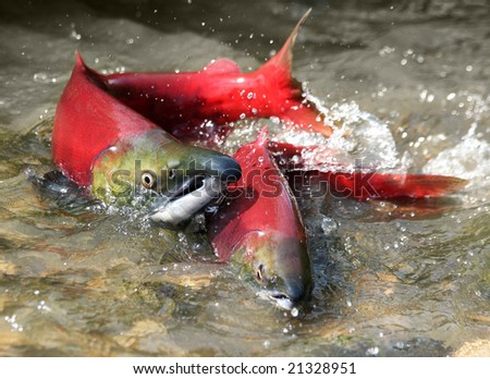 male and female red salmon in river before spawning