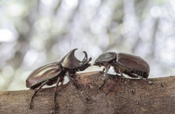 male and female rhinoceros beetle on branch with bokeh scene