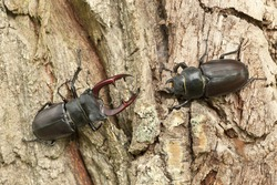 Male and female stag beetles, Lucanus cervus on oak