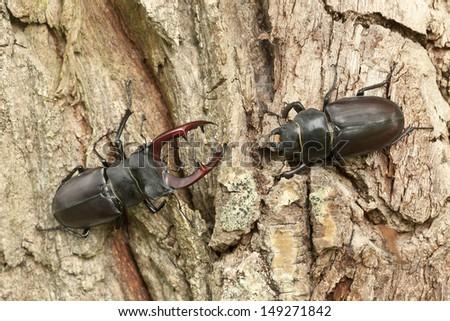 Male and female stag beetles, Lucanus cervus on oak