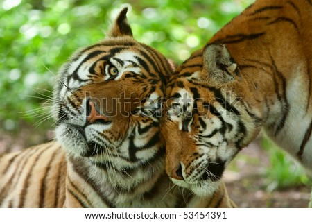 MALE AND FEMALE TIGER IN A ROMANTIC POSE, IN THEIR NATURAL HABITAT