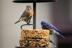 Male and Female western bluebird on feeder