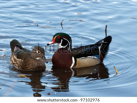 Male and Female Wood Duck, close up