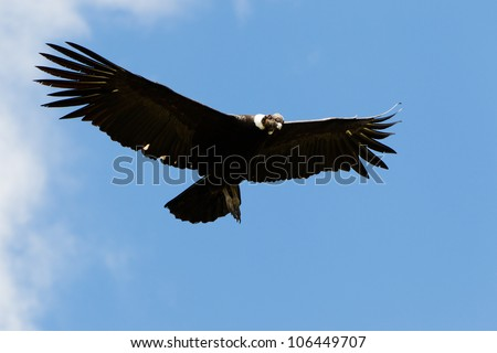 Male Andean condor in flight, shot in highlands of Ecuador Andes mountains. - stock photo