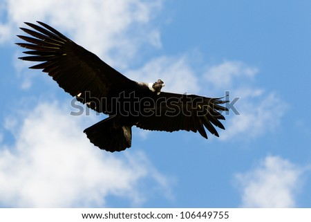 MALE ANDEAN CONDOR IN FLIGHT, SHOT IN HIGHLANDS OF ECUADOR ANDES MOUNTAINS