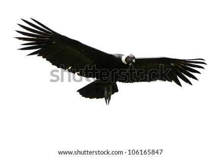 Male Andean condor in flight, shot in highlands of Ecuador Andes mountains against a white cloud.